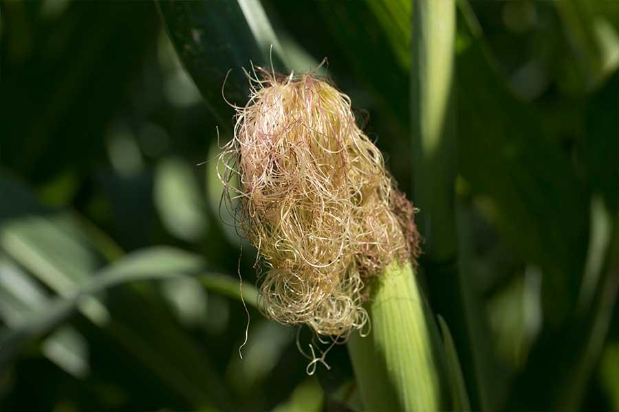 3-maïs-fourrage-aleen-soie.jpg