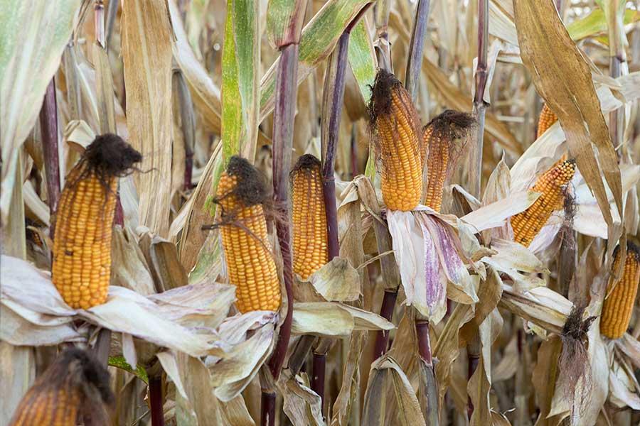 5-maïs-fourrage-aleen-epis.jpg