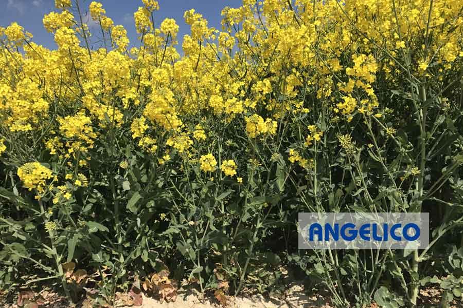 2.colza-angelico-comparaison-floraison.jpg