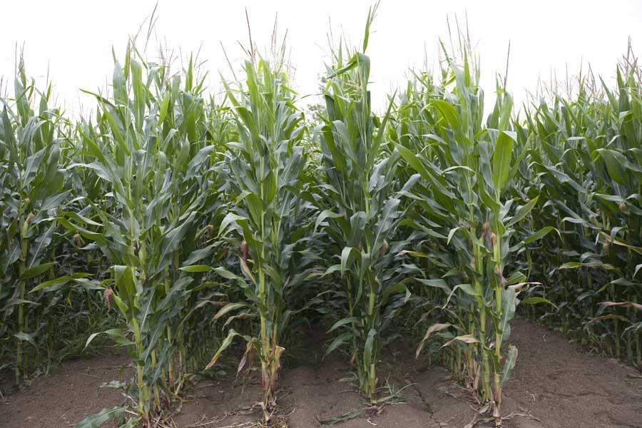 2.mais-grain-aapotheoz-plante-entiere.jpg