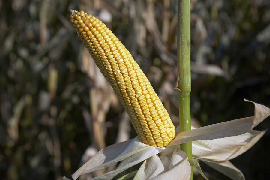 3.mais-grain-aapotheoz-epi.jpg