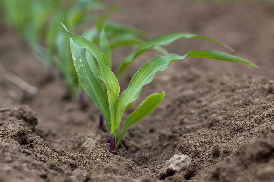 1.mais-grain-adevey-plantule.jpg