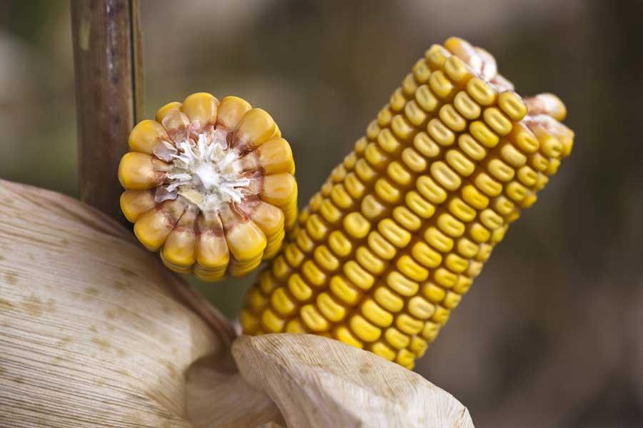 3.mais-grain-adevey-epi.jpg