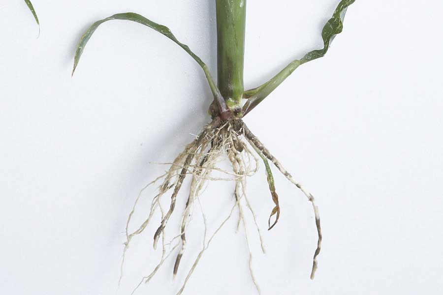 4.mais-fourrage-anjou-287-racines.jpg