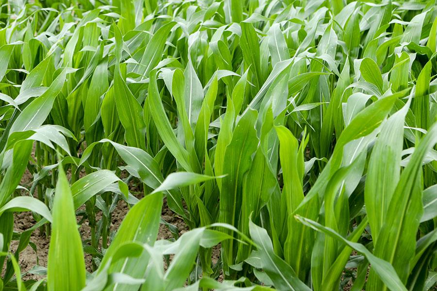 2.mais-grain-ashley-feuille.jpg