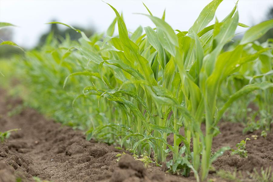 1.mais-grain-bobbey-plantule.jpg
