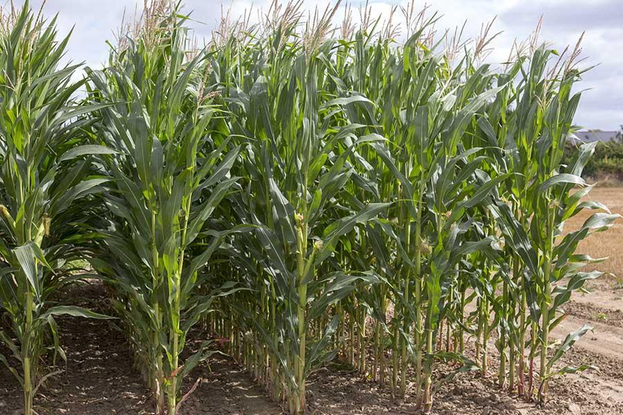 3.mais-grain-buckley-plante-entiere.jpg