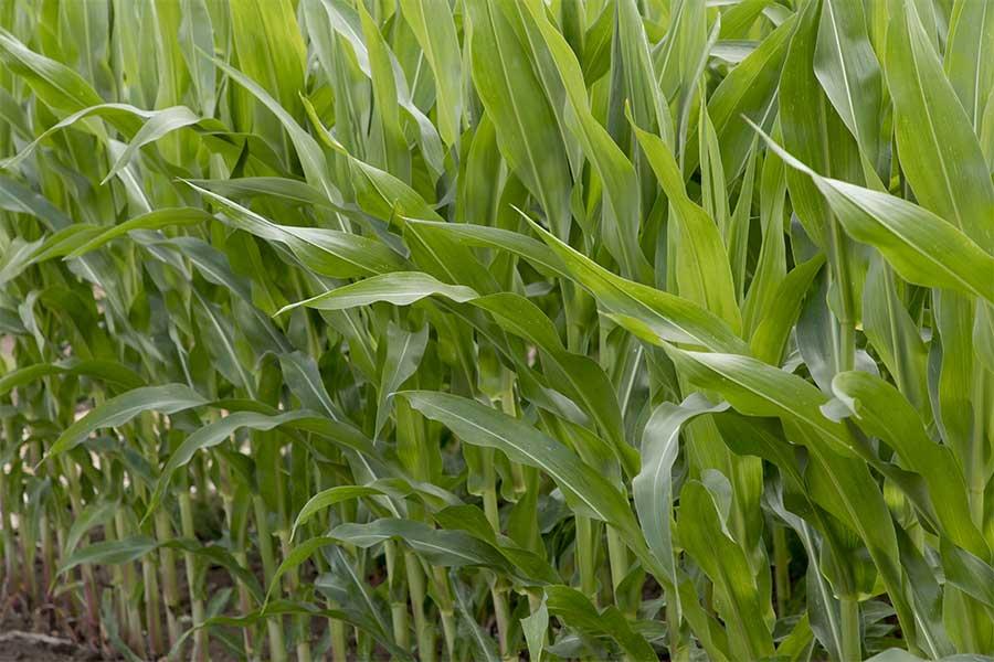 2.mais-grain-crosbey-feuilles.jpg