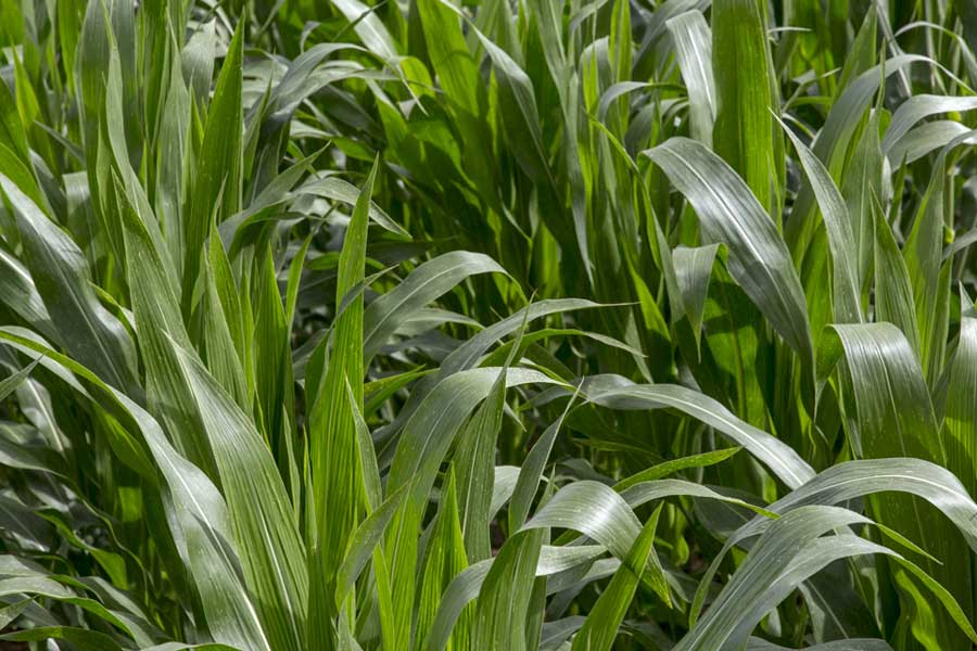 2.mais-fourrage-caroleen-feuilles.jpg