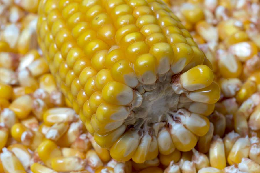 4.mais-fourrage-catreen-grain.jpg
