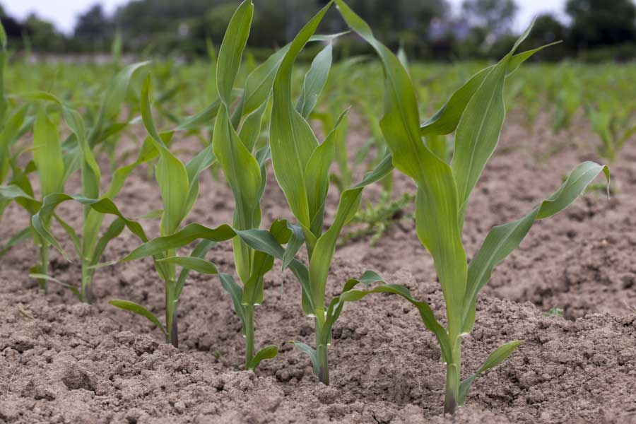1.mais-grain-courtney-plantule.jpg