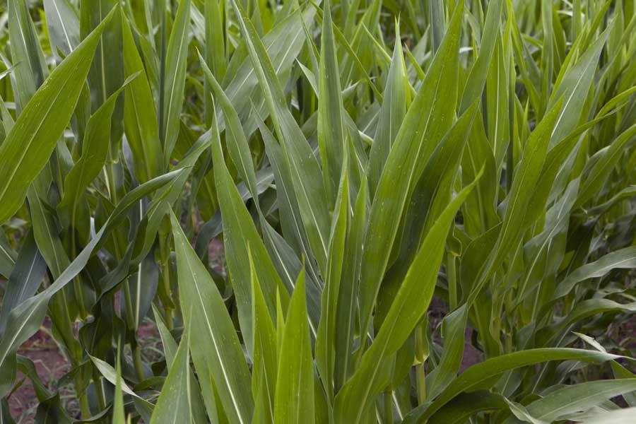 2.mais-fourrage-emily-stade-10-feuilles.jpg
