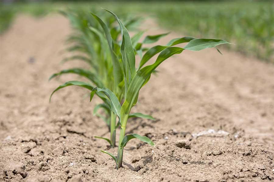 1.mais-grain-henley-plantule.jpg