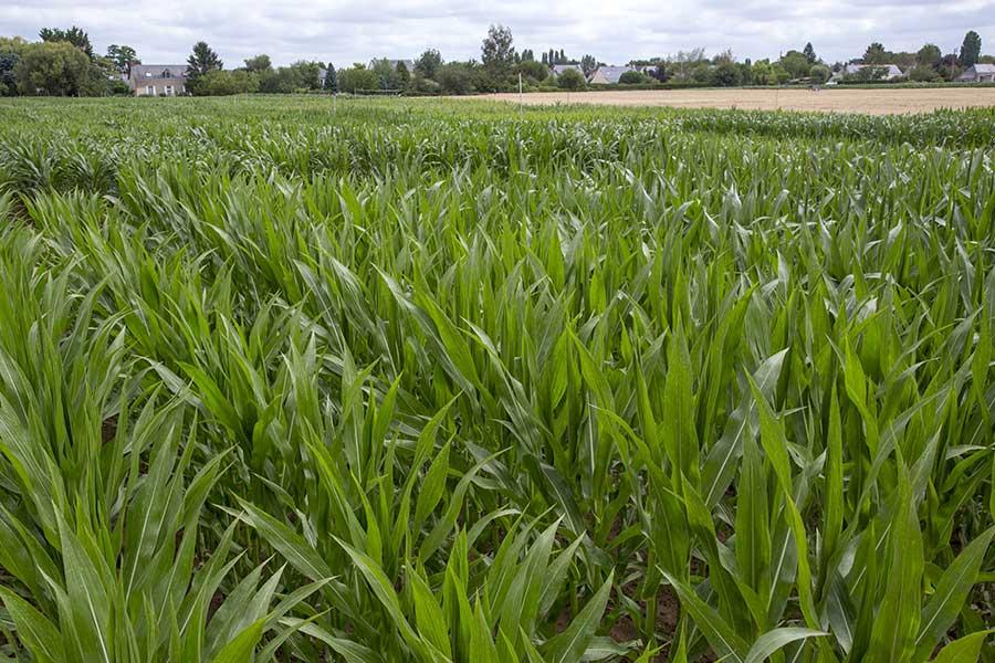 2.mais-grain-henley-feuilles.jpg