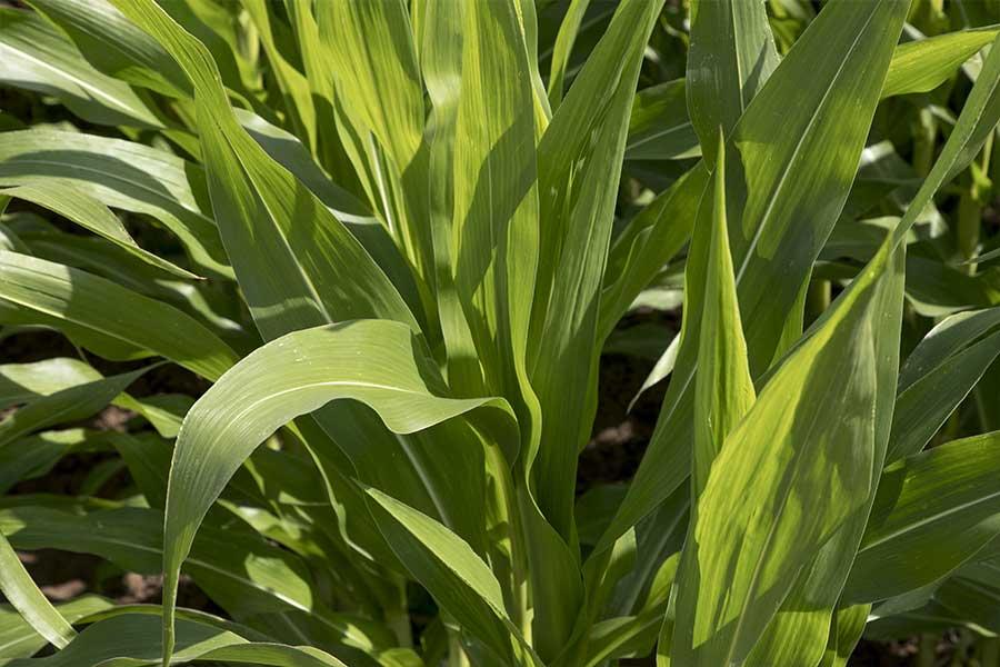 2.mais-grain-humphrey-plante-entiere.jpg