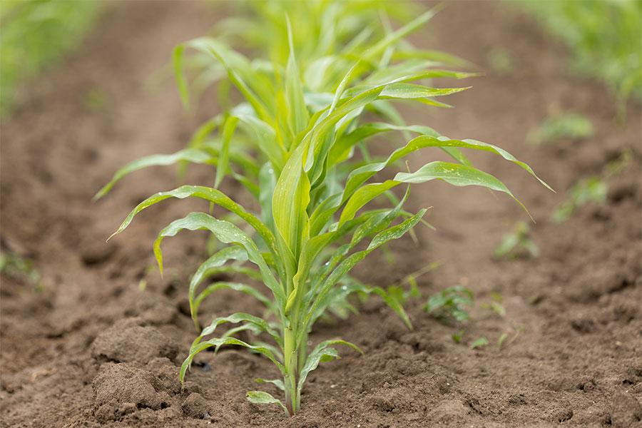 1.mais-grain-hermeen-plantule.jpg