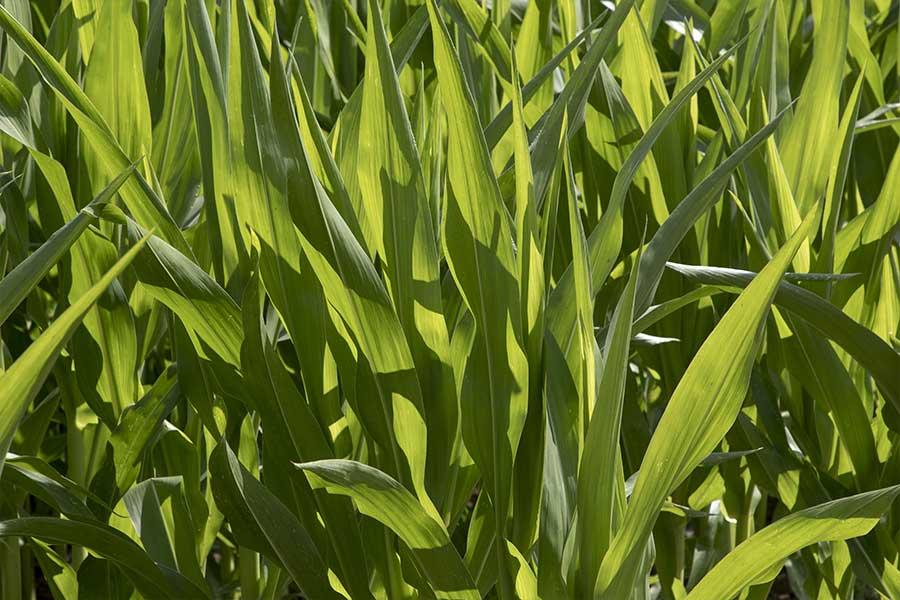 2.mais-fourrage-jakleen-feuilles.jpg