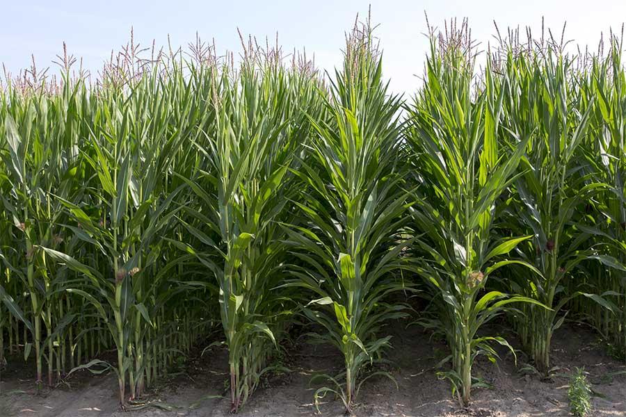 4.mais-fourrage-jakleen-plante-entiere.jpg