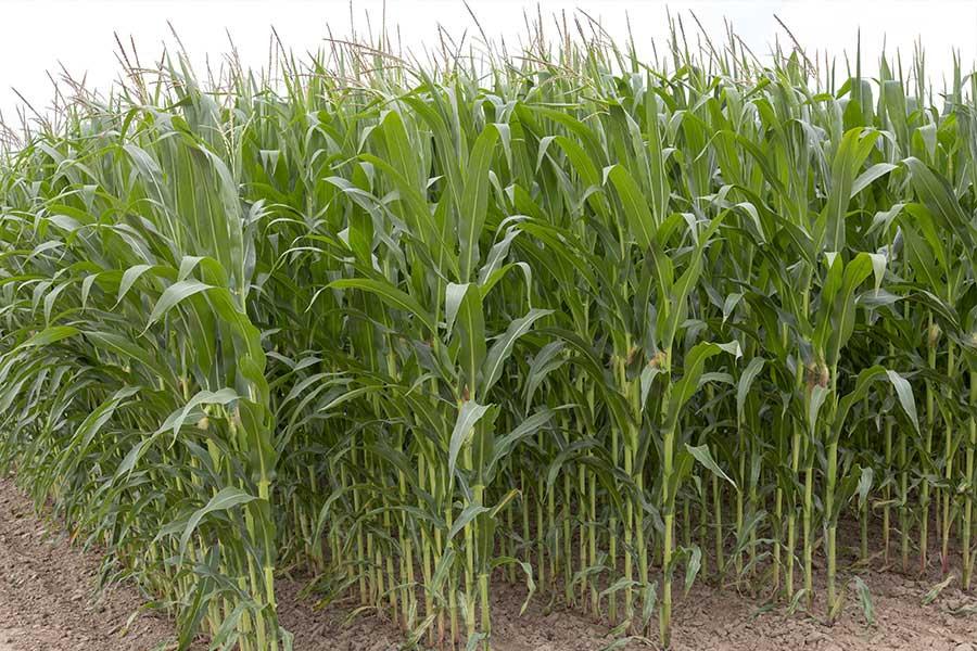 2.mais-grain-joffrey-plante-entiere.jpg