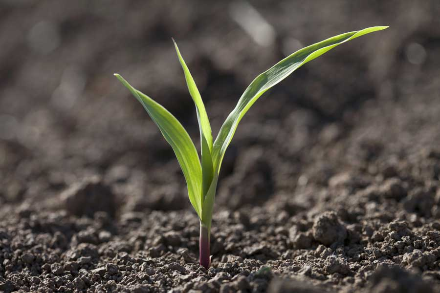 1.mais-grain-lindsey-plantule.jpg