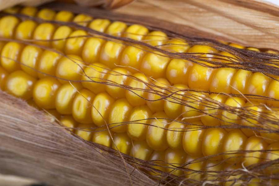 4.mais-grain-lindsey-epi.jpg