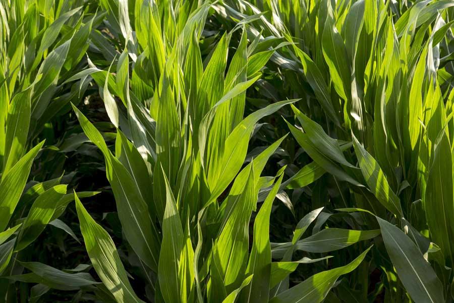 2.mais-fourrage-milkstar-stade-10-feuilles.jpg