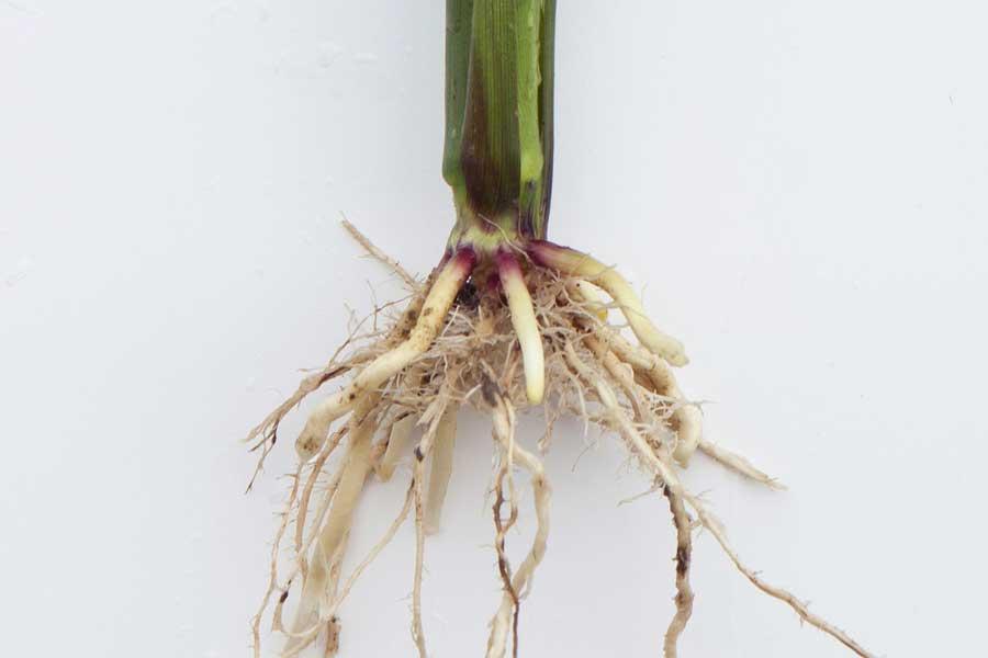 3.mais-fourrage-penelope-racines.jpg
