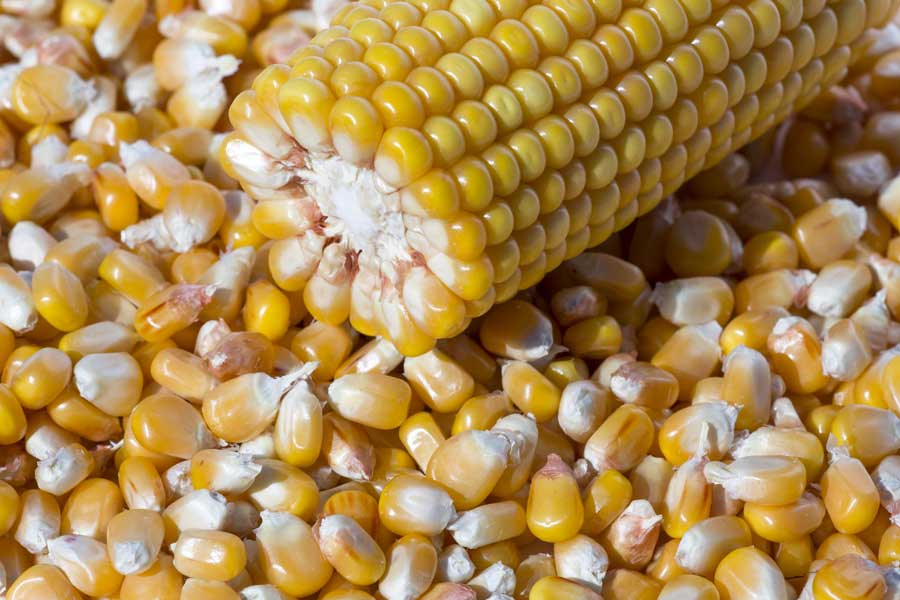 3.mais-fourrage-perreen-grain.jpg