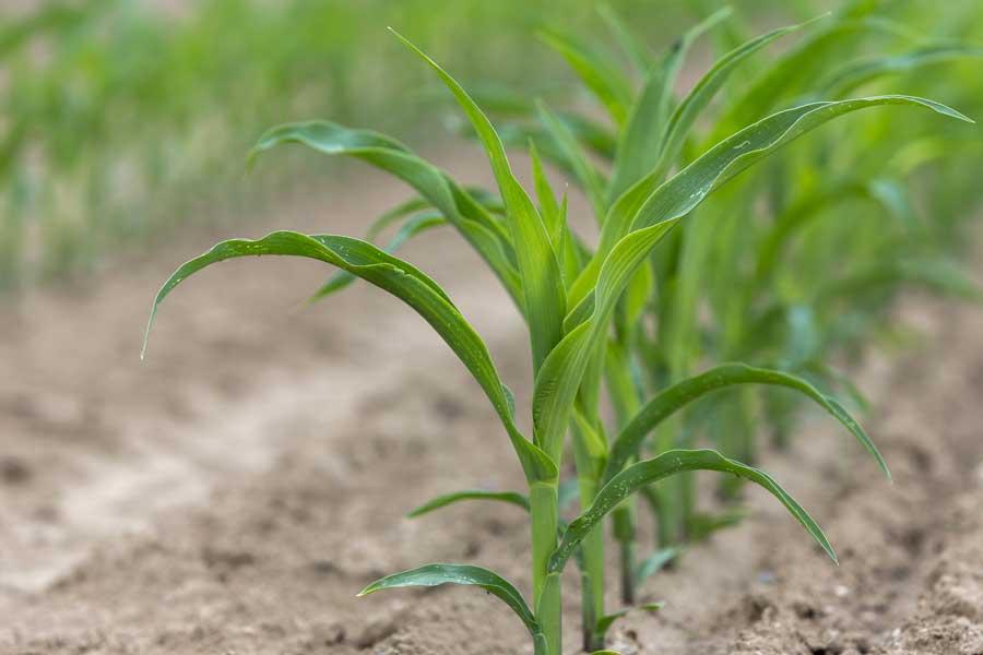 1.mais-grain-prospect-plantule.jpg