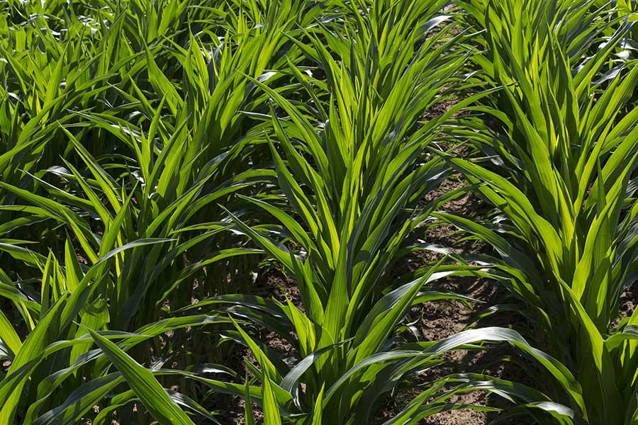 1.mais-grain-quincey-stade-10-feuilles.jpg