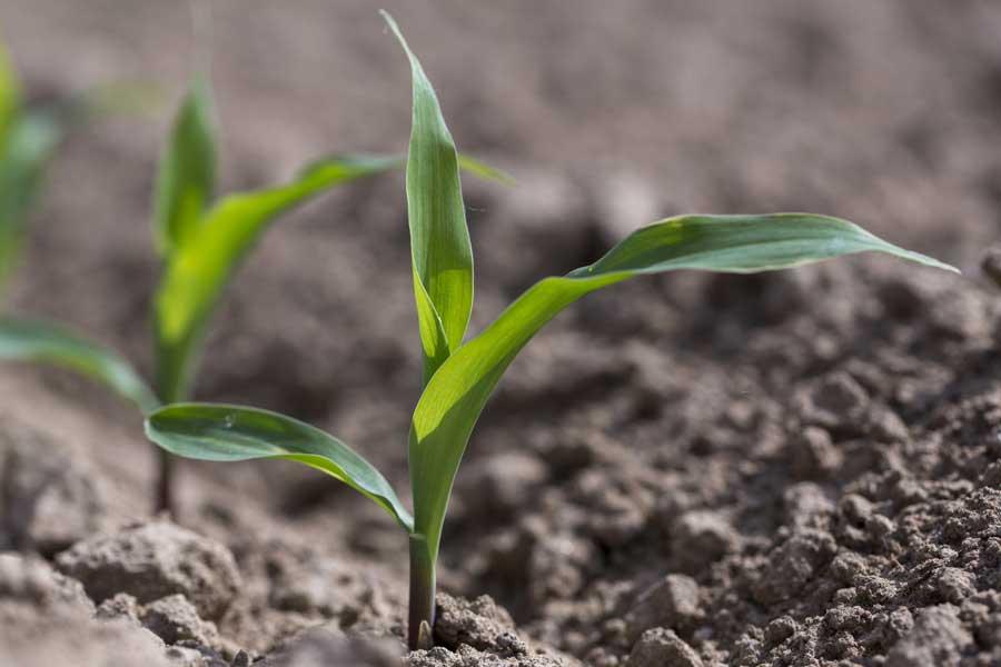 1.mais-mixte-seedney-plantule.jpg