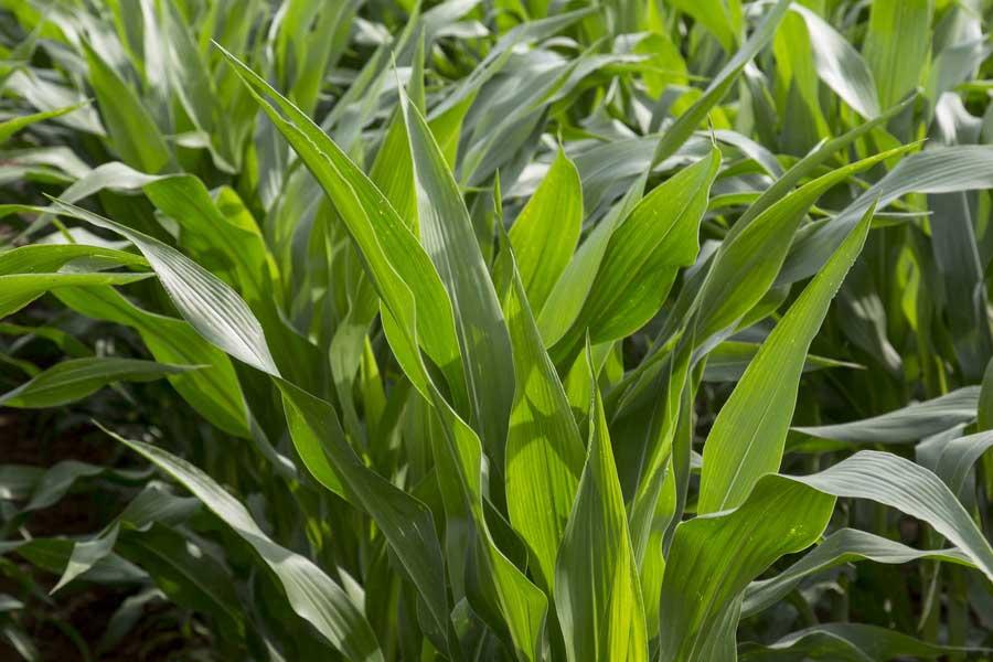 2.mais-mixte-seedney-feuilles.jpg