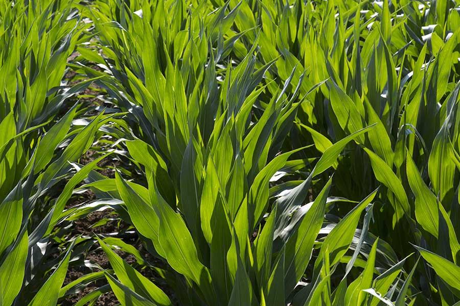 1.mais-grain-zoey-stade-10-feuilles.jpg