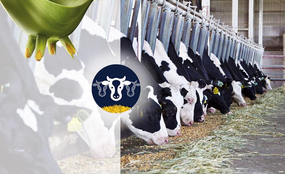 Approche ration ruminants