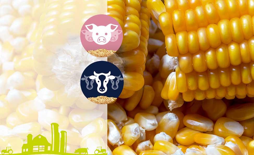 Maïs Grain Humide