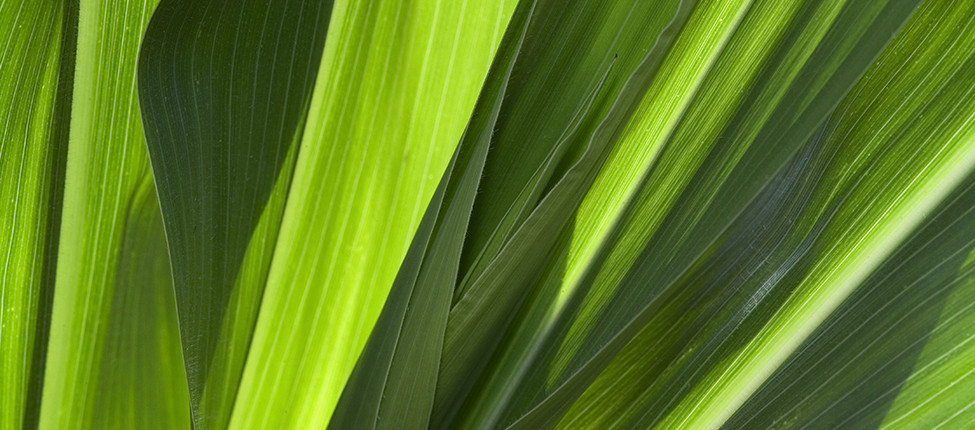 Du très beau maïs en floraison