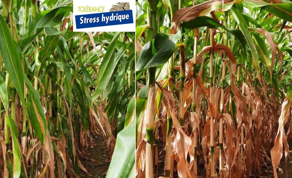La tolérance au stress hydrique du maïs